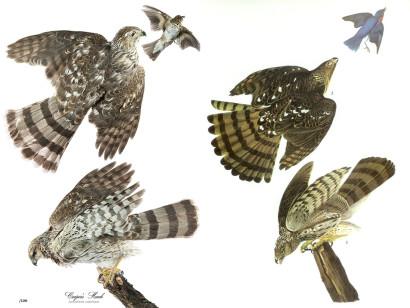 Cooper's Hawk Audubon Print