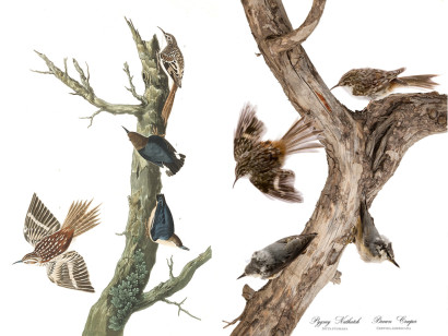 Brown Creeper & Pygmy Nuthatch