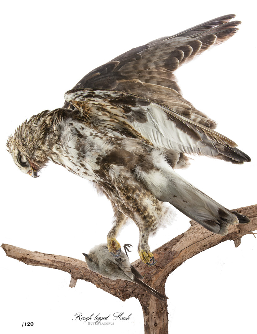 Audubon Rough-legged Hawk