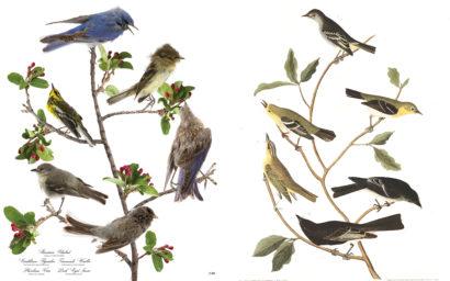 Audubon Bird Print 434